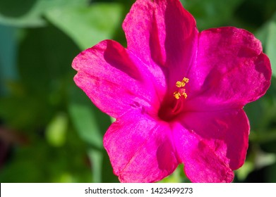 Mirabilis jalapa, the miracle of Peru or a four-hour flower, is the most common ornamental species of the Mirabilis plant and is available in various colors. Mirabilis jalapa cultivated the Aztecs