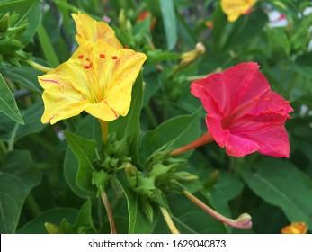 Mirabilis jalapa or sandhya moni flower in garden Istanbul/Turkey