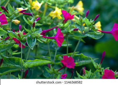 mirabilis jalapa in summer garden