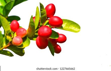 Miracle fruit tree on white background