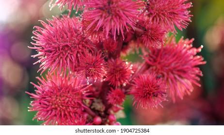 Miracle tree rizinus ricinus communis fruit flower blossom plant ornamental plant Castor oil plants Castor oil Red fruit of the miracle tree Medicinal plant Poisonous plant