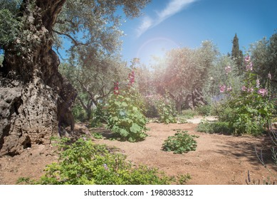 Miraculous heavenly divine light in Gethsemane garden, the place where Jesus was betrayed. Jerusalem, Israel