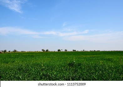 Mirpurkhas, Pakistan - January 19, 2017: Lush green fields with crops swaying in breeze in fertile farm lands of rural Sindh, southern Pakistan. Yellow standing crops are visible in the background.