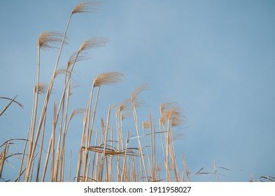 Miscanthus against blue sky backdrop  Miscanthus × giganteus (giant miscanthus)  is a highly productive, perennial grass, originating from Asia