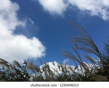 Miscanthus and blue sky