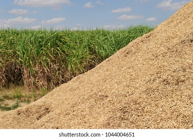 miscanthus field for biomass