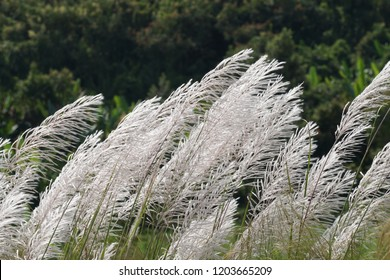 Miscanthus floridulus, Pacific Island silvergrass, Miscanthus sacchariflorus, Amur silvergrass, Korean muluksae, Chinese fairy grass, Susuki Grass, Japanese silvergrass, Chinese silvergrass