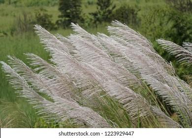Miscanthus floridulus or silvergrass, Miscanthus sacchariflorus, Korean muluksae, Chinese fairy gras