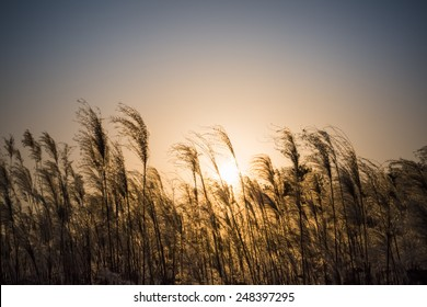 miscanthus flowers in the sunset , energy crops to produce biofuels ,dye plants