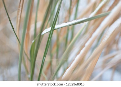 Miscanthus fuel crops in the field closeup and blurred background