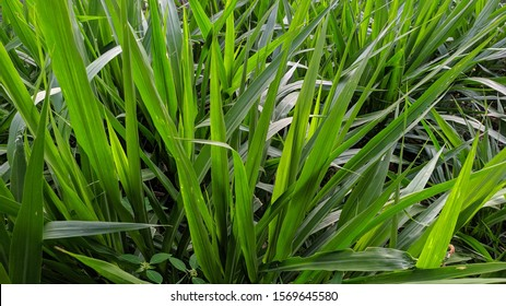miscanthus giganteus- elephant grass green energy source.