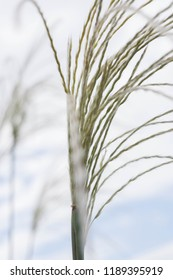 Miscanthus inflorescence (Miscanthus sinensis)