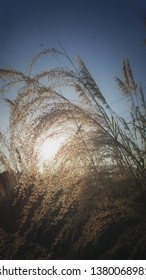 Miscanthus on the field