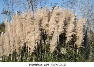 Miscanthus plant and its flowers in the reeds field