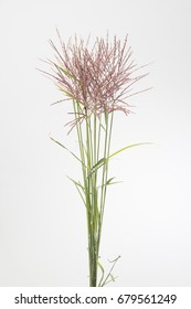 Miscanthus Rotfede