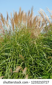 Miscanthus sacchariflorus with flowering stems in summer