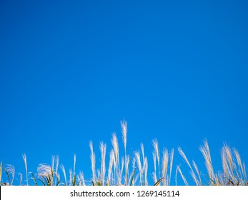 Miscanthus sinensis with blue sky background