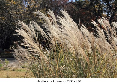 Miscanthus sinensis in the field, Nature, Landscape, Autumn, Japan