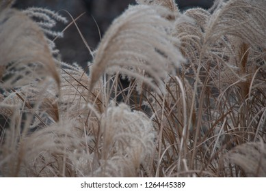 Miscanthus sinensis, Japanese silver grass in the park