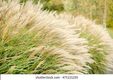Miscanthus sinensis also known as Chinese Silver Grass. Nice feather foliage calm concept. Autumn wallpaper. Fall background.