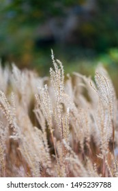 Miscanthus sinensis, the maiden silvergrass, is a species of flowering plant in the grass family Poaceae, native to eastern Asia. The purple variant turns colored during autumn.