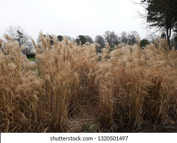 Miscanthus sinensis 'Malepartus' , Common names include Korean uksae, Chinese silver grass, Eulalia grass, maiden grass, Susuki and porcupine grass . Family: Poaceae.