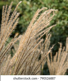 Miscanthus sinensis 'Rotsilber' (Maiden Grass or Eulalia) in a Country Cottage Garden in Rural Devon, England, UK