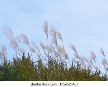 Miscanthus sinensis Scenery to see