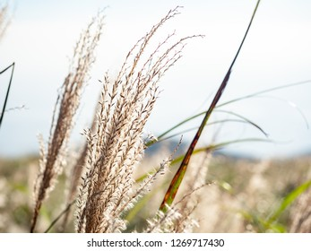 Miscanthus sinensis with sky background