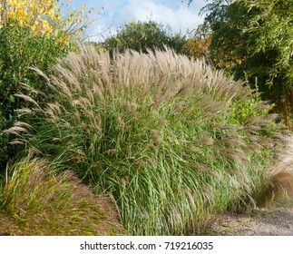 Miscanthus sinensis 'Yakushima' in a Country Cottage Garden in Rural devon, England, UK