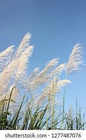 Miscanthus sinensis (zebra grass)  from bottom angle. Taken on bright summer. Portrait mode.