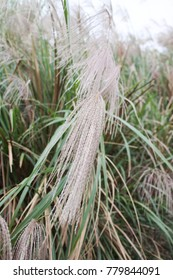 Miscanthus in taiwan