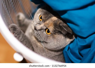 Mischievous British Shorthair house cat hiding in laundry basket