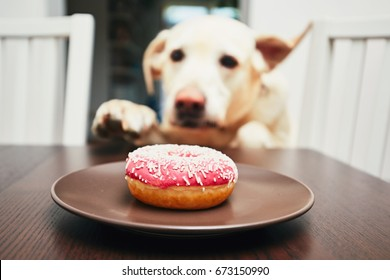Mischievous dog in home kitchen. Naughty labrador retriever steals the donut from the table.