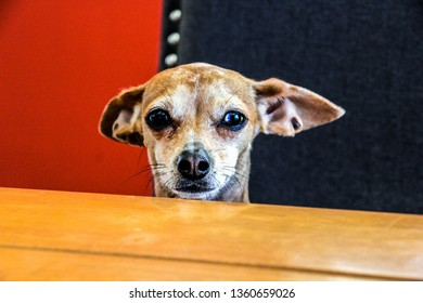 Mischievous dog with long ears sitting at dinner table