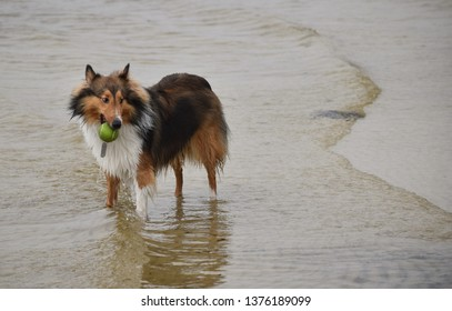 Mischievous and perhaps naughty sheltie collie with a ball in his mouth standing in water at the beach. He wants to play!