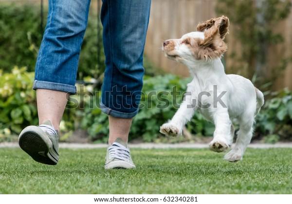 Mischievous playful cocker spaniel puppy running and jumping in garden