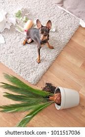 Mischievous toy terrier and overthrown houseplant indoors