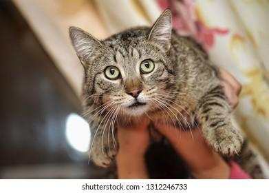miserable tabby cat in hand