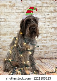 Misfit elf -wirehaired Pointing Griffon