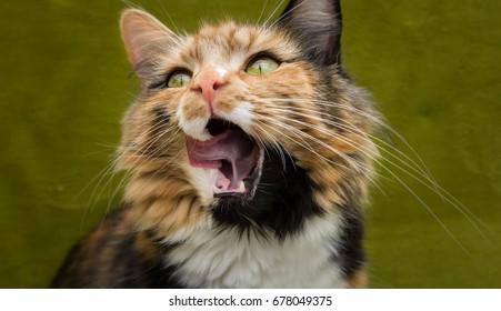 Miss Lunara the Calico cat