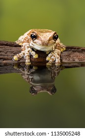 The Mission golden-eyed tree frog or Amazon milk frog (Trachycephalus resinifictrix) is a large tree frog of the Amazon Rainforest