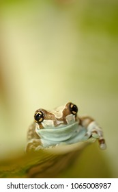 Mission golden-eyed tree frog walking on leaf