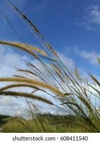 mission grass on blue sky