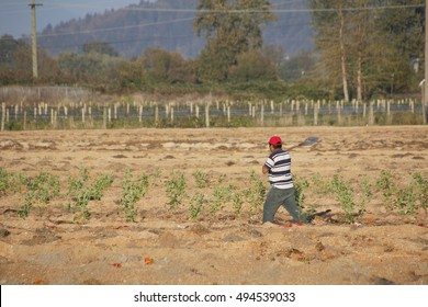 MISSION - SEPTEMBER 30, 2016: A migrant laborer, with shovel in hand, is off to work in the farm field near Mission, British Columbia on September 30, 2016.