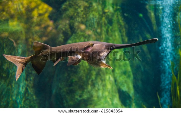 The Mississippi Paddlefish