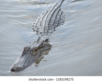 Mississippi/USA - May 12, 2018 - Closeup of an alligator in a swamp swimming toward the camera; head above the water.