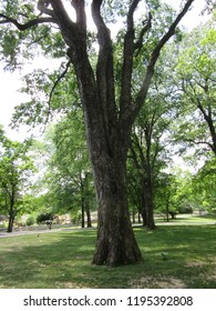 Mississippi/USA - May 12, 2018:  A large tree stands alone in a park, its branches reaching toward the sky like fingers.