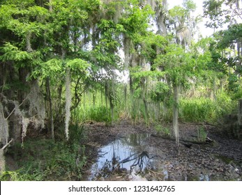 Mississippi/USA - May 12, 2018: A large grove of trees are covered in Spanish Moss in a Mississippi Swamp.