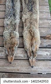 The Missouri trapper has captured the harvest, fleshed, boarded, stretched and cleaned the coyotes and they will be headed to market or auction.